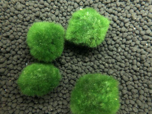 řasokoule zelená